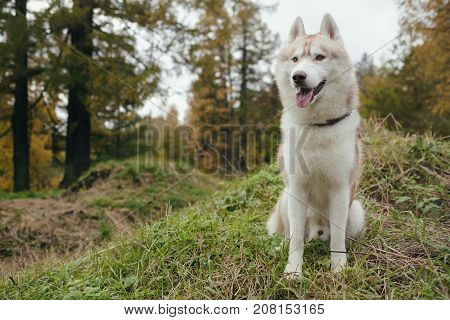 A gingerly Siberian Siberian husky stands and looks ahead. Walking with a dog in the park in the fall. Vertical view