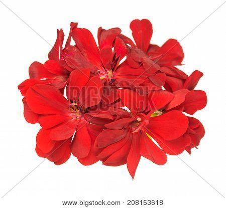 Fresh bright red geranium isolated over white background