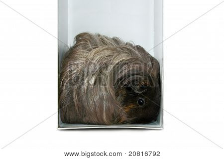 A Cavy In The Box Isolated On White