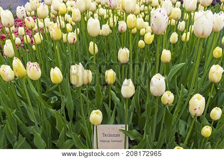Tulips Of The Carrousel Species