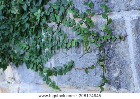 Brick wall with wild grapes. Vintage brick wall with natural floral frame. Wild grape on the wall of an old building. Wild grapes on old brick wall as background.