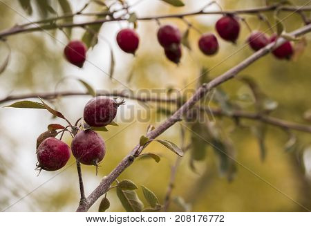 Little red apples hanging evenly hanging on the thin branches