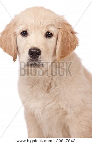 Portrait of a young charming Golden Retriever in the studio poster