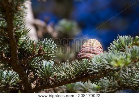 Lebanese cedar pinecone in botanical garden, Spain