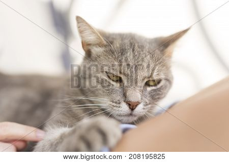 Top view of a furry tabby cat lying on its owner's lap enjoying being cuddled and purring.