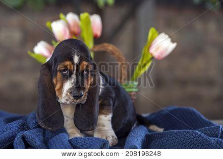 Gently Basset Hound Puppy On A Blanket