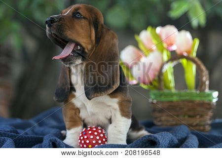 Sweet  Puppy Basset Hound With Sad Eyes And Very Long Ears Sitting On A Blanket