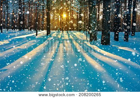 beautiful winter rural landscape with forest sun and snow. sunset in winter forest. sun rays shine through trees. wintry sunrise