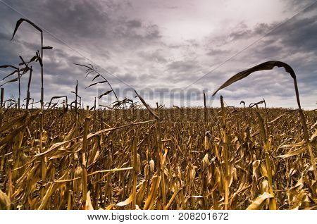 Harvested corn field before the storm at late autumn in north Serbia
