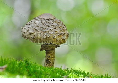 Parasol Mushroom, macrolepiota procera, in the forest. Magic background with mushroom in green forest