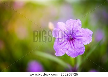 Close up Ruellia tuberosa (Ruellia clandestina) is violet flowers blooming with water drop in the garden with sunshine morning for flower background or texture - nature concept.