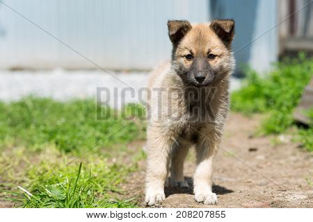 non-pedigree pale-colored puppy stands on a path