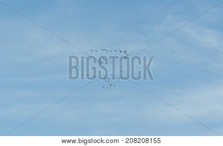 Flock of Common Crane Grus grus flying over La Mancha Spain during their winter migration. It is the only crane commonly found in Europe besides the Demoiselle Crane