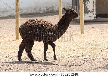 Big Alpaca On A Country Safari Farm