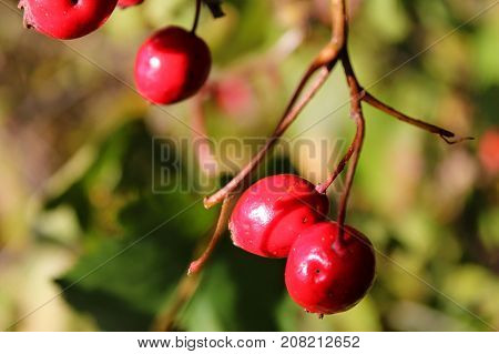 Briar berries growing on branches of a bush.