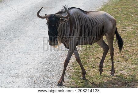 Big Wildebeest On A Country Safari Farm