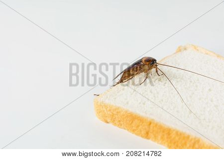 Cockroach on bread isolated on white background. Contagion the disease Plague concept.