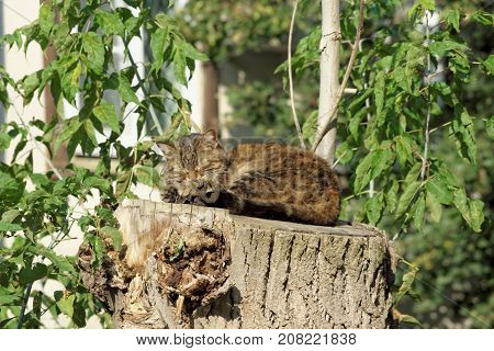 The cat sleeps on a high hemp of a large sawn wood. Strong dream of a cat.
