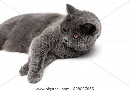 young gray cat close-up on a white background. horizontal photo.