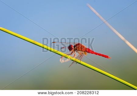 Gomphus vulgatissimus or red dragonfly on nature with great copy space for text