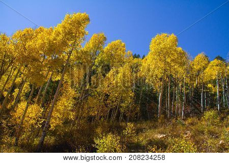 Vibrant and glowing autumn leaves in Dixie National Forest outside of Cedar Breaks National Monument.