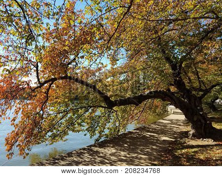 Washington Dc Cherry Tree In Autumn
