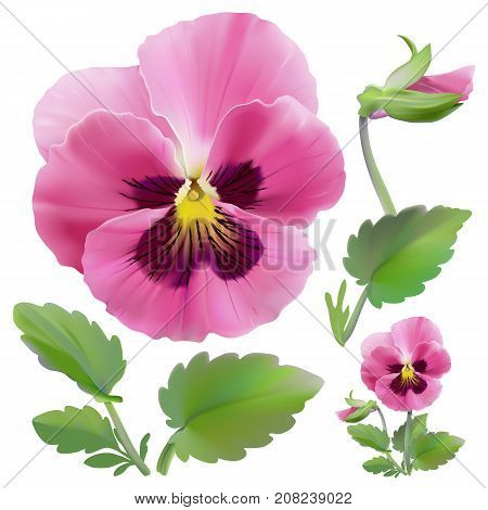 Pansy flower. Hand drawn vector illustration of a garden variety of Viola tricolor on transparent background, realistic style.