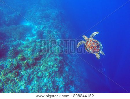 Green sea turtle in deep blue sea water. Sea tortoise underwater photo. Sea animal in coral reef. Coral reef ecosystem. Tropical island vacation activity. Snorkeling or diving in tropical seashore