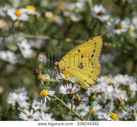A Pink-Edged Sulphur (Colias interior) a small yellow butterfly, shown in left profile ventral view, gathers nectar from a wildflower in York County Pennsylvania, USA.
