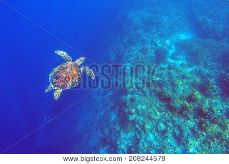 Green sea turtle in deep blue sea water. Sea tortoise top view underwater photo. Sea animal in coral reef. Coral reef ecosystem. Tropical island vacation activity. Diving in tropical seashore