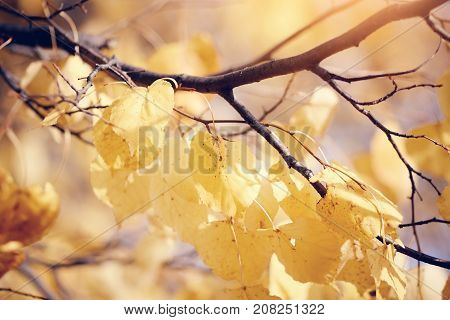 Yellow-gold leaves of a linden on branches in the fall.