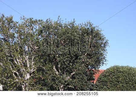 This is an image of a California Live Oak Tree infected with the disease sudden oak death.