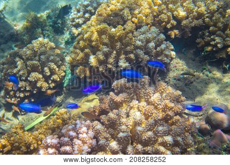 Neon blue fish family in coral reef. Tropical seashore inhabitant underwater photo. Coral reef animal. Warm sea nature. Colorful sea fish and corals. Undersea view of marine life. Coral reef landscape