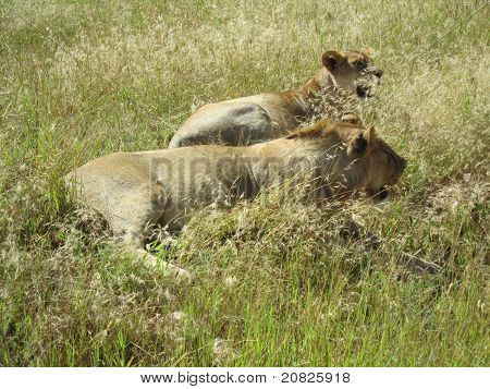 Lion's couple