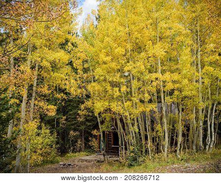 Aspen Trees Surround an old Mining Cabin in Autumn - Colorado Rocky Mountain Scenic Beauty
