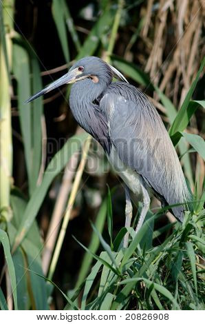 Tricolored heron perched in a tree in Florida poster