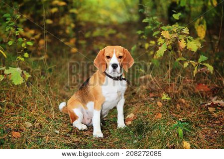 Beagle dog in forest waiting for owner. Beagle sits on grass in forest.