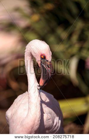Pink Lesser Flamingo, Phoeniconaias Minor