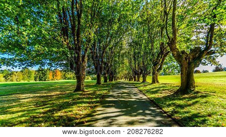 Mature Maple Trees along both side of a lane on a nice October day near Fort Langley British Columbia