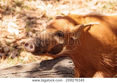 Red River Hog Potamochoerus Porcus