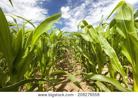 Field with green long stalks of corn growing in rows. photo close-up in spring