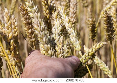 ripe spikelets of rye, which was clenched in a man's fist. photo close-up while harvesting.