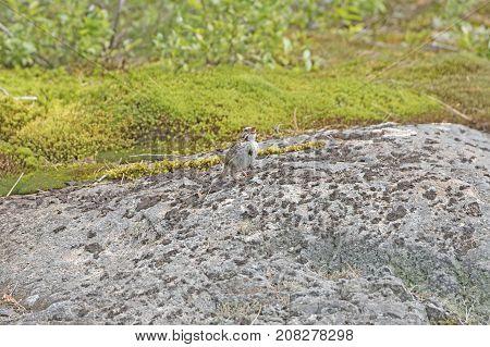 Song Sparrow Singing on a Bare Rock in Killarney Provincial Park in Ontario Canada