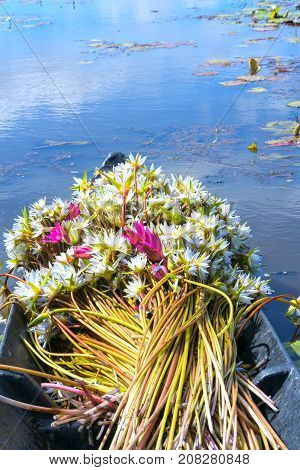 Lilies are harvested on a boat in the flood season in the Mekong Delta and is used as food for humans