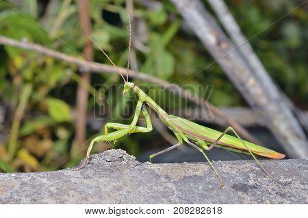 A close up of the mantis profile.