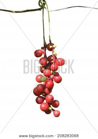 A close up of the berries of Far-Eastern medicinal plant (Schisandra chinensis). Isolated on white.
