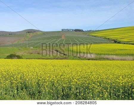 LANDSCAPE, YELLOW AND GREEN FIELDS, STRETCHING FROM THE FORE GROUND RIGHT UP TO THE HORIZON