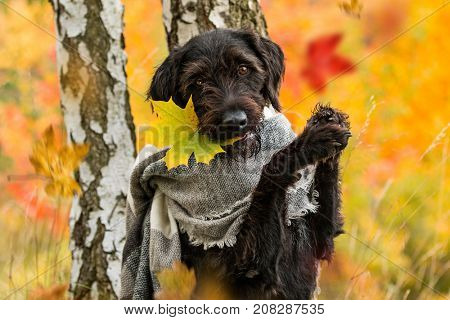 Black mutt dog with hood and scarf posing in autumn park.