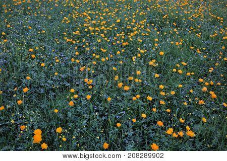 Meadow with Siberian globeflowers