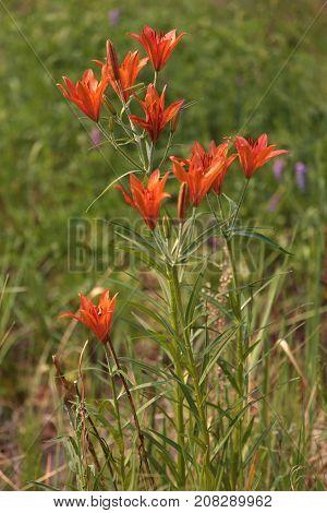 Lilium pumilum - dwarf lily (Lilium pumilum Delile), grows in